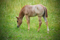 Foal eating grass - PhotoDune Item for Sale