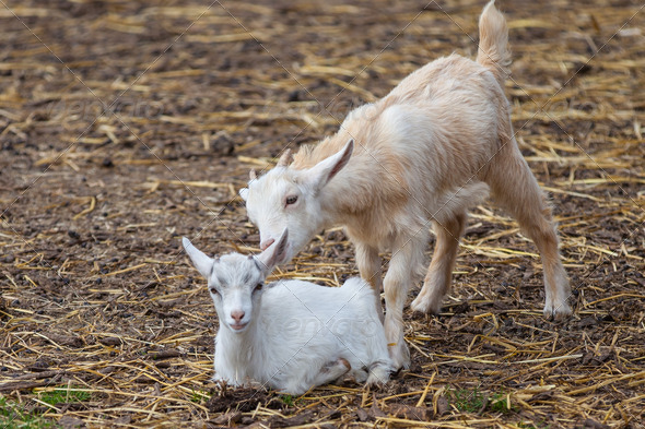 Two Goats - Stock Photo - Images