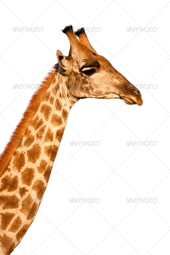 Giraffe head and neck isolated on white background - Stock Photo - Images