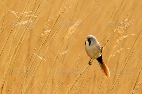 Bearded Reedling or Bearded Tit perched on reed stem - Stock Photo - Images