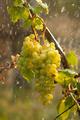Watering grapes artificial rain - PhotoDune Item for Sale