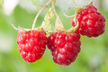 Raspberry fruits on branch - PhotoDune Item for Sale