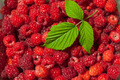 Ole leaf on Raspberry fruits - PhotoDune Item for Sale