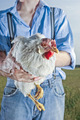 chicken farmer - PhotoDune Item for Sale