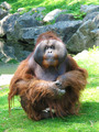 Large Orangutan  - PhotoDune Item for Sale