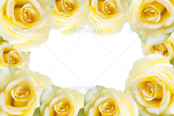Yellow rose isolated on white background Stock Photo by ...