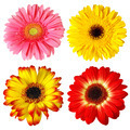 Four Gerberas - PhotoDune Item for Sale