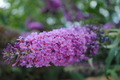 Lilac superb flower - PhotoDune Item for Sale