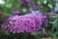 Lilac superb flower - PhotoDune Item for Sale