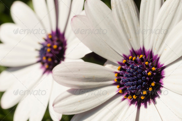 Daisy flower detail - Stock Photo - Images