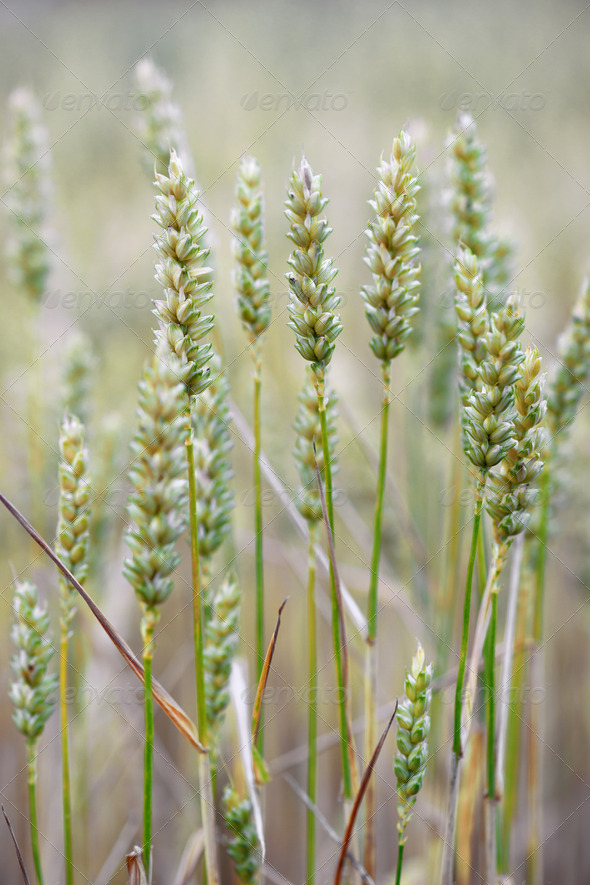 Close up of wheat - Stock Photo - Images