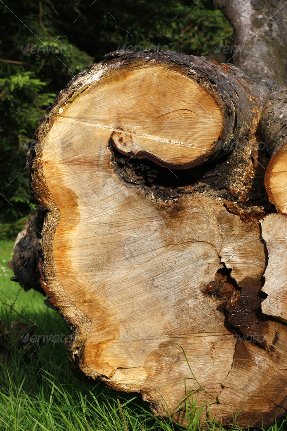 Felled tree in a park - Stock Photo - Images