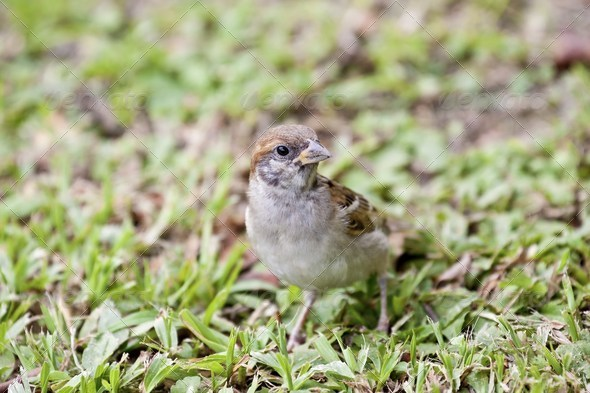 tree sparrow - Stock Photo - Images