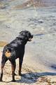 Security Dog Lifeguard - PhotoDune Item for Sale