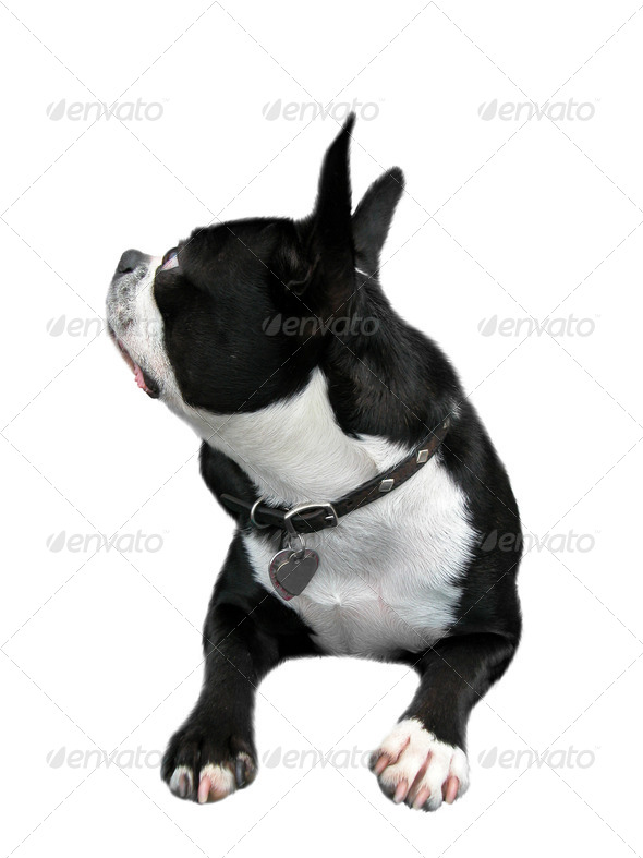 Curious Boston Terrier - Stock Photo - Images