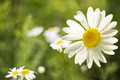 Sunny Daisy Flowers - PhotoDune Item for Sale