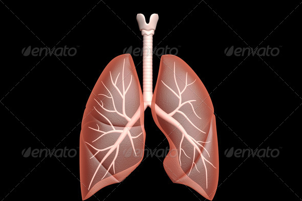 Human lungs  - Stock Photo - Images