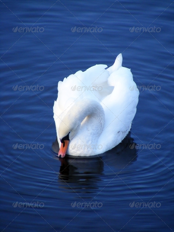 Beautiful white swan drinking water - Stock Photo - Images