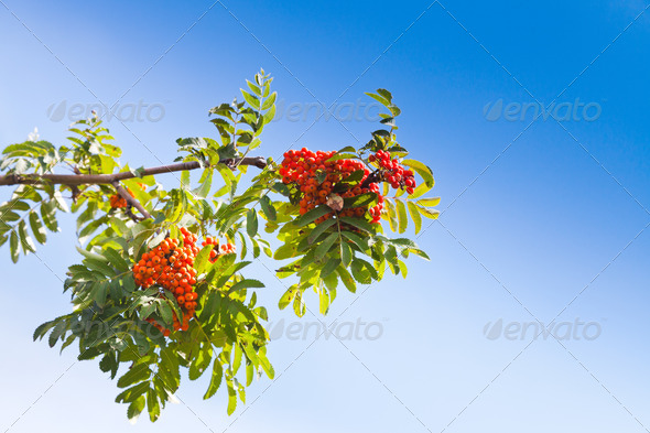 rowanberry under blue sky - Stock Photo - Images