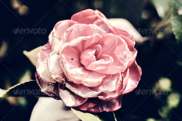 Japanese camellia pink flower on a bush close-up - Stock Photo - Images