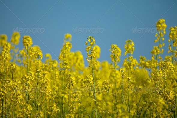 Rapeseed - Stock Photo - Images