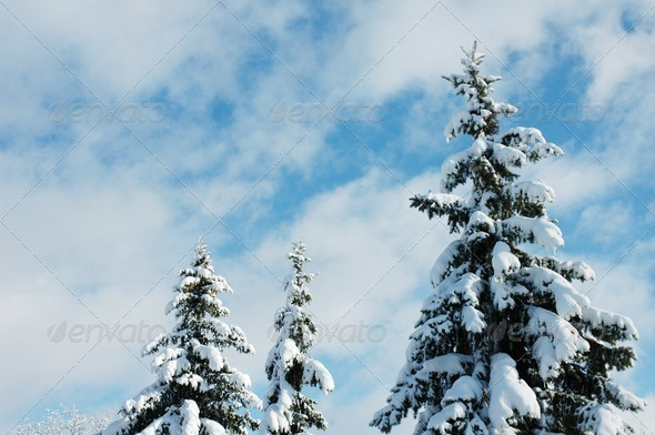 Winter pines - Stock Photo - Images