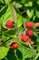 Red summer berries - PhotoDune Item for Sale