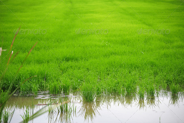 Rice Seedlings - Stock Photo - Images