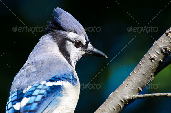 Close Up of a Blue Jay - Stock Photo - Images
