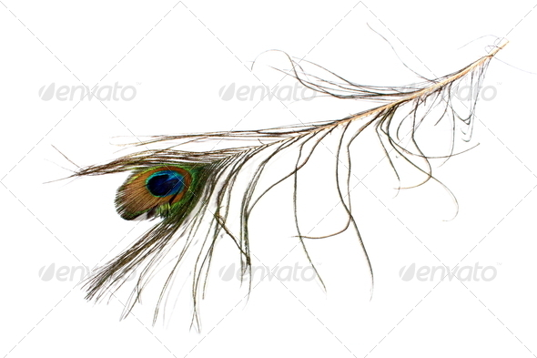 Peacock Feather - Stock Photo - Images