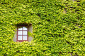 Ivy covered wall and window - PhotoDune Item for Sale