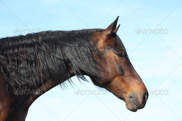 Bay horse with long mane portrait on sky background - Stock Photo - Images