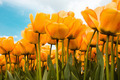 Beautiful yellow tulips - PhotoDune Item for Sale