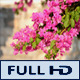 Bougainvillea Flowers 2 - VideoHive Item for Sale