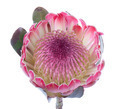 Purple protea, isolated on white - PhotoDune Item for Sale