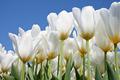 Beautiful white tulips looking to the sky - PhotoDune Item for Sale