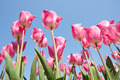 Beautiful purple tulips looking to the sky - PhotoDune Item for Sale