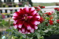 Red and White Dahlia - PhotoDune Item for Sale