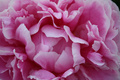 Perfect Pink Peony - PhotoDune Item for Sale