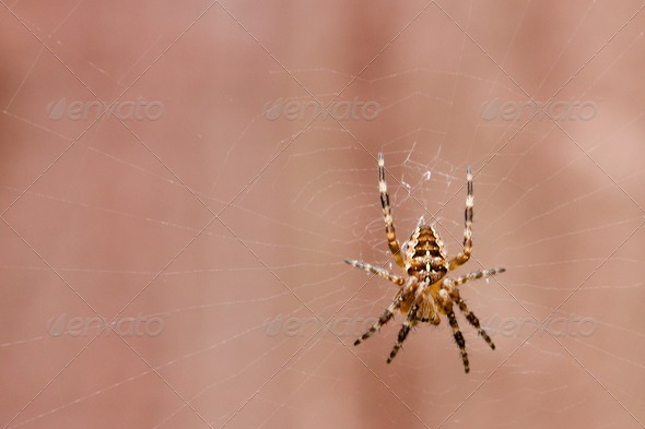 Common garden spider on its web - Stock Photo - Images
