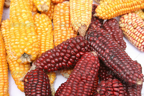 Multicolored Ears of Corn - Stock Photo - Images
