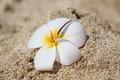 White and Yellow Frangipani Plumeria on Beach Sand - PhotoDune Item for Sale