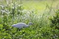 White Egret Bird in Grass - PhotoDune Item for Sale