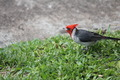 Red-Crested Cardinal on Grass - PhotoDune Item for Sale