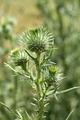 Bull Thistle with thorns - PhotoDune Item for Sale