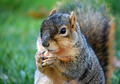 Squirrel with Peanut, on Right - PhotoDune Item for Sale