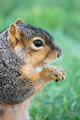 Squirrel With Peanut Facing Right on Grass, Close-Up - PhotoDune Item for Sale