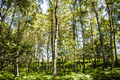 Birch Forest - PhotoDune Item for Sale