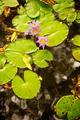 Lilly Pads and Flower in Pond - PhotoDune Item for Sale