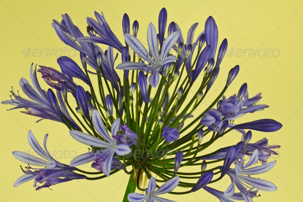 African Lily (Agapanthus) - Stock Photo - Images